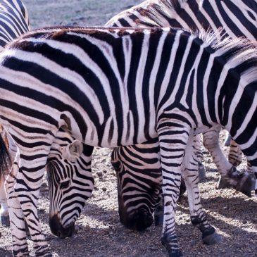 Zebras at Casela Nature Park