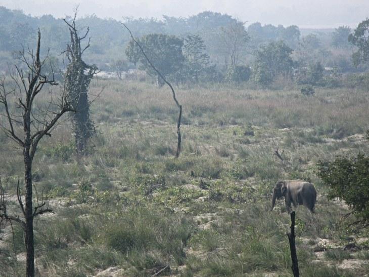 Asian Elephant in Bardiya National Park